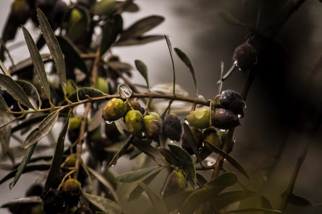 Galho com azeitonas verdes e pretas, molhadas após a chuva