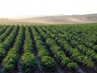 Campo de Batatas com centenas de batateiras