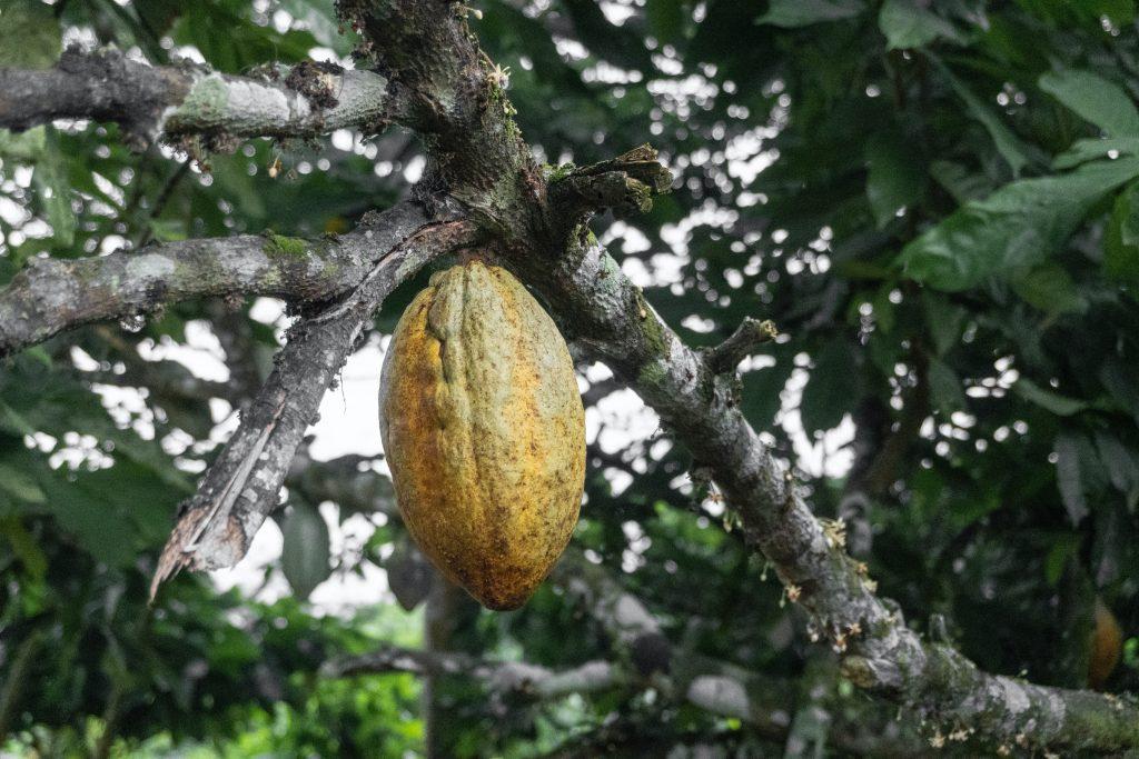 Galho de árvore de cacau, com um fruto pendurado
