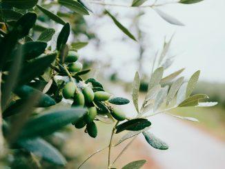 Galho de uma oliveira com algumas azeitonas nele.