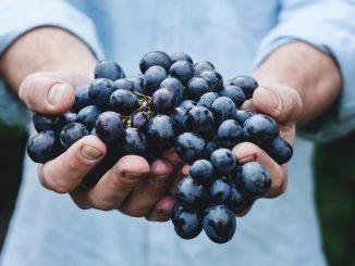 Duas mão segurando um cacho de uva roxa