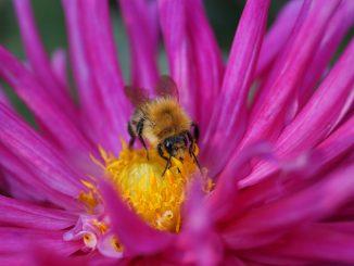 Uma abelha no centro de uma flor, provavelmente colhendo pólen
