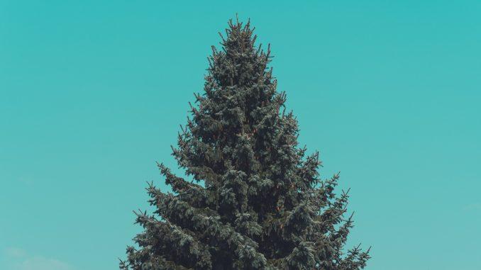 Foto de um pinheiro