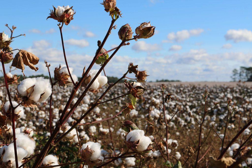 Campo de algodão