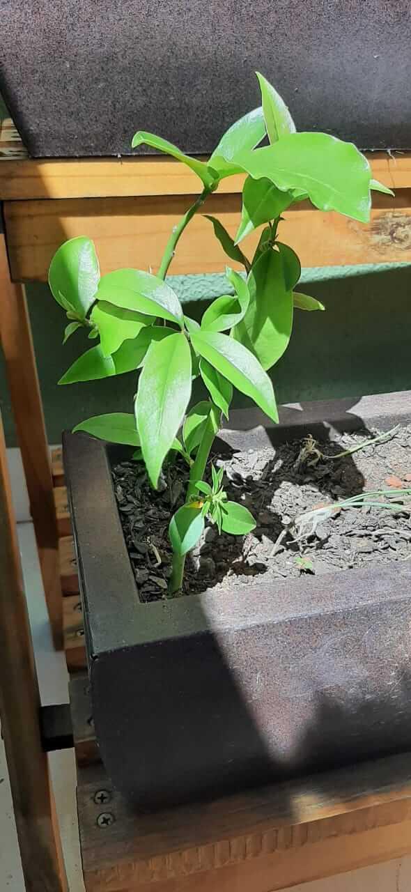 um vaso com uma planta Ora-pro-nóbis