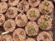 várias suculenta Lithops