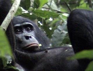 Bonobo e seu instinto assassino