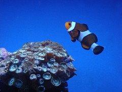 Acidificação dos oceanos desorienta peixe palhaço