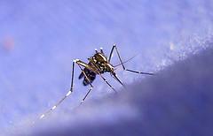 E mosquito voa na chuva?