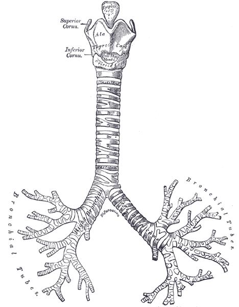 Árvore Brônquica (Fonte: Wikipédia)
