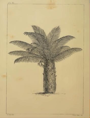 Figura 5. Palmeira piaçava (Leopoldiniapiassaba) descrita por Alfred Russel Wallace, espécie amplamente utilizada em construção civil até os dias de hoje. Fonte: wallace-online.org