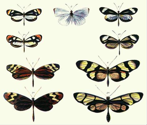 Figura 2. Mimetismo batesiano, primeira e terceira fileira pertencem a mesma família, a segunda e quarta fileira são espécies que 'imitam' as anteriores. Fonte: Henry Walter Bates 1862, wikipedia.org.