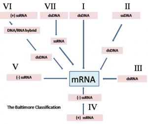 Figura 1: Classificação de Baltimore para vírus. (+) e (-) indicam senso positivo e negativo, respectivamente, da fita de RNA. ds e ss indicam que a molécula de ácido nucleico é constituída de cadeia dupla ou simples, respectivamente. Imagem de GrahamColm, retirada da Wikimedia Commons.