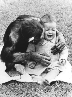 Chimpanzee-comforting-a-crying-child-John-Drysdale-200434.jpg