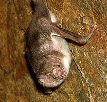 morcego  Desmodus