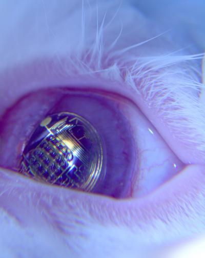 lente contato coelho