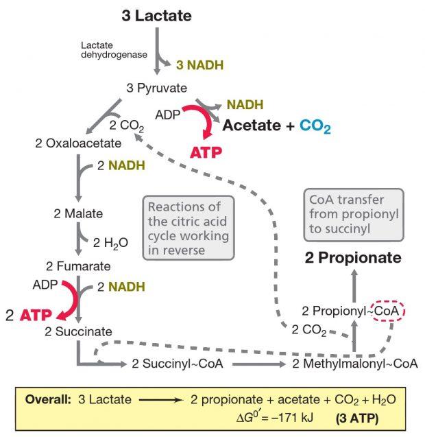 Fermentação do ácido propiônico