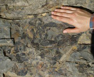Figura 1. Folhas associadas às florestas riparias do início do Permiano no Município de Tietê.