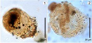 Bacia de Taubaté, 1 e 2 são pólens de gimnospermas.