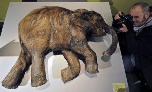 Bebê mamute mumificado. Créditos: Martin Meissner