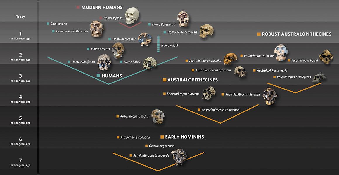 Árvore filogenética dos hominídeos (Museu de História Natural de Londres)