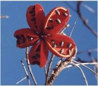 Chichá, uma das plantas do Cerrado que minha mãe mais admirava.