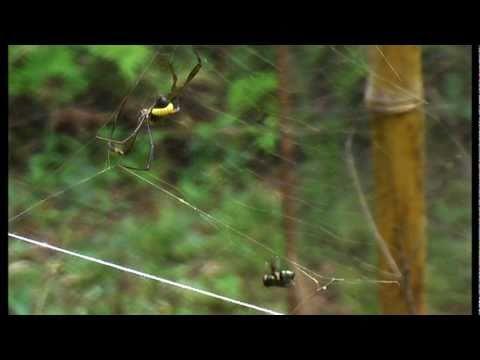 Parasitoides em ação, aranhas sob comando