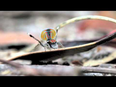 O show da aranha pavão
