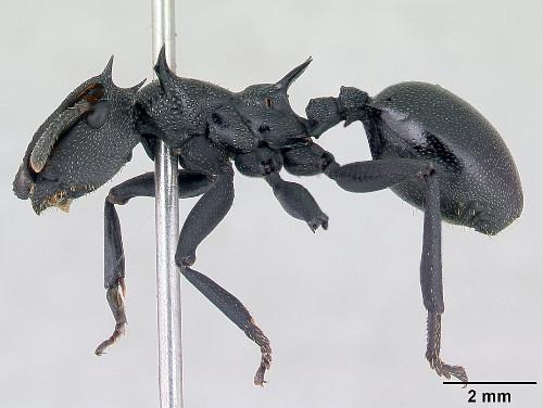Cephalotes atratus.jpg