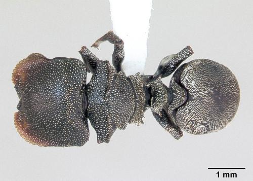 Cephalotes depressus.jpg