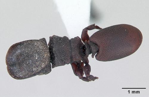 Cephalotes pallidoides.jpg