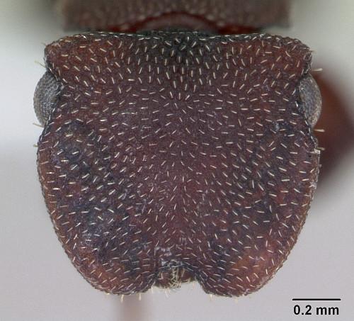 Cephalotes pallidoides4.jpg