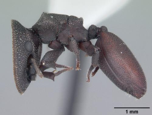 Cephalotes varians.jpg