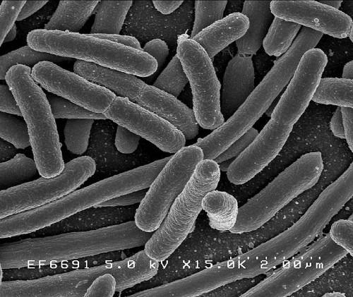 Dos pepinos espanhóis ao genoma nos blogs: E. coli patogênica na Alemanha