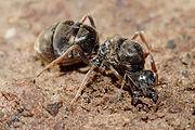 formiga rainha