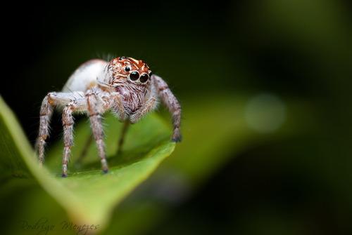 Mais aranhas saltadoras
