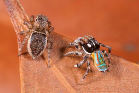 Macho e fêmea de aranha pavão