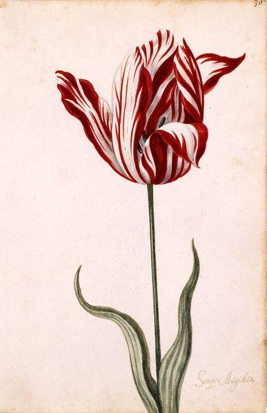 Semper_Augustus_Tulip_17th_century.jpg
