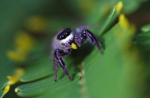 Aranha herbívora (uma vergonha para a ordem)