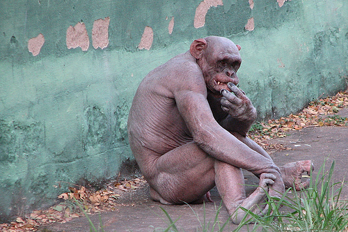 Sobre macacos pelados