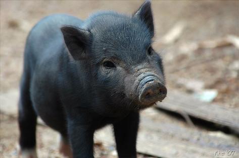 Vírus da gripe suína muda em porcos na China