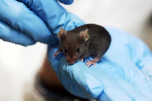 Utilizar animais em pesquisa científica: certo ou errado?