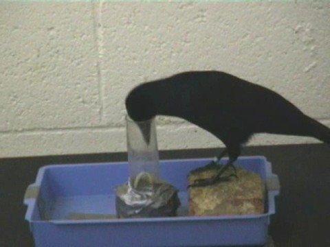 Os pássaros mais espertos do mundo!