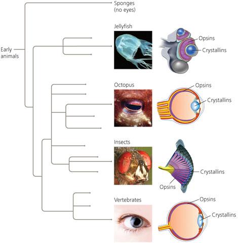 Olho humano vs olho do polvo