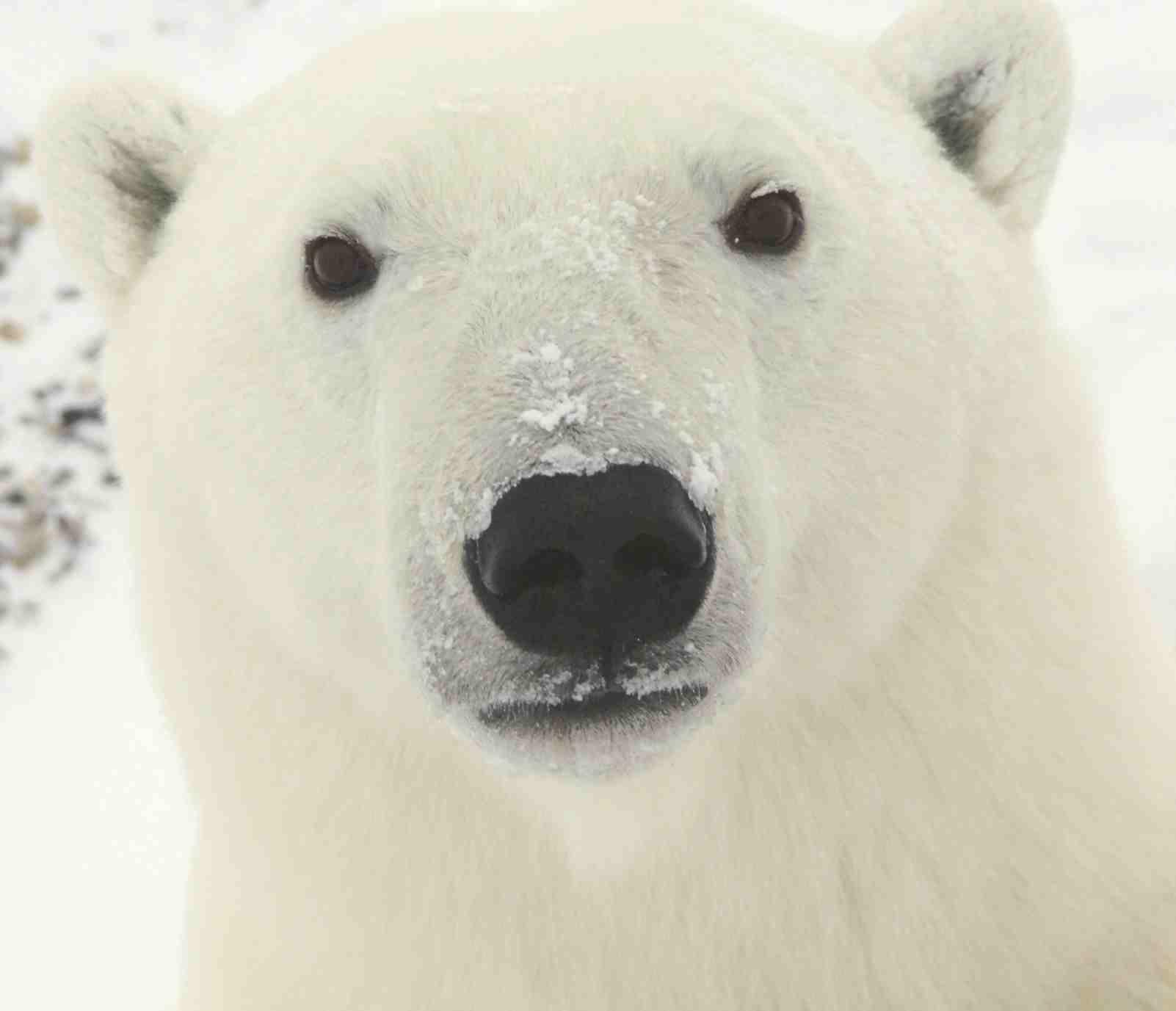 Tente não pensar em um urso branco