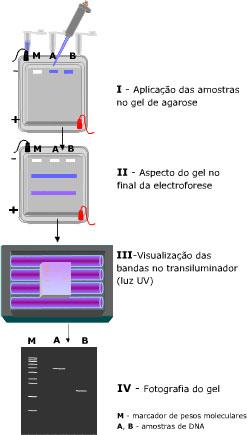 eletroforese2