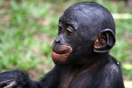 bonobo_Congo_2007_28-08-2007_13-28-37.jpg