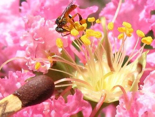 macro.abelha.flor.jpg