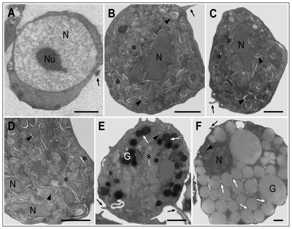 As vesículas dobradas estão presentes em células de todos os tamanhos e idades. Os grânulos são principalmente compostos de proteínas antimicrobianas, que são despejadas na hemolinfa durante um desafio, e depois para evitar uma nova invasão, do mesmo jeito que anticorpos depois de uma infecção.