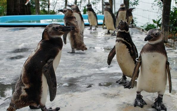 Em pleno verão, pinguins continuam chegando no Brasil